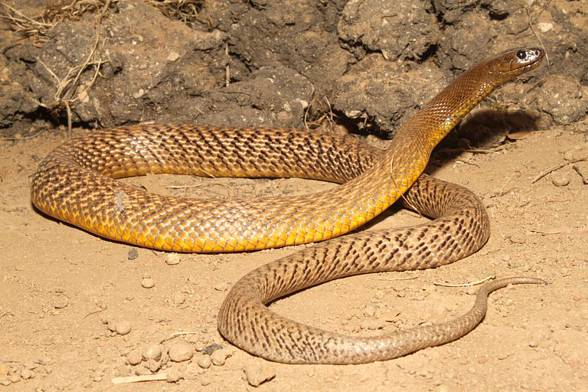 Top 5 Venomous Snakes in Australia   Australian Dog Lover