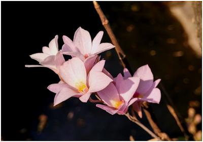 : Dendrobium barbatulum