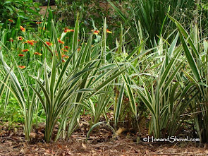 How to Maintain Flax Lily