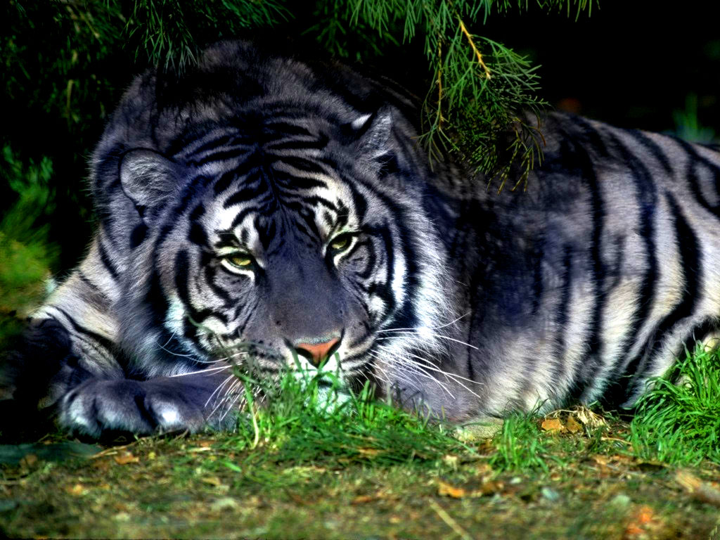 black tiger animal - photo #1