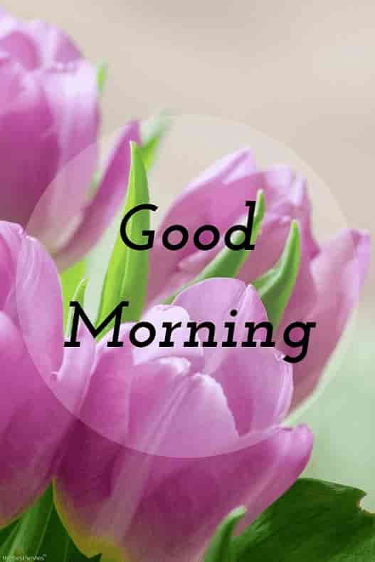 purple flower hd good morning image