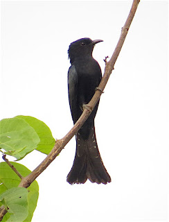 Surniculus Sp., drongo-cuckoo species