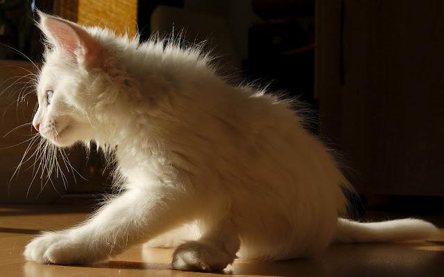 Mooie witte kat.