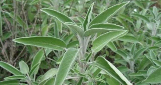 Ποιο είναι το «ελληνικό τσάι», γνωστό και ως «βότανο της αθανασίας»;