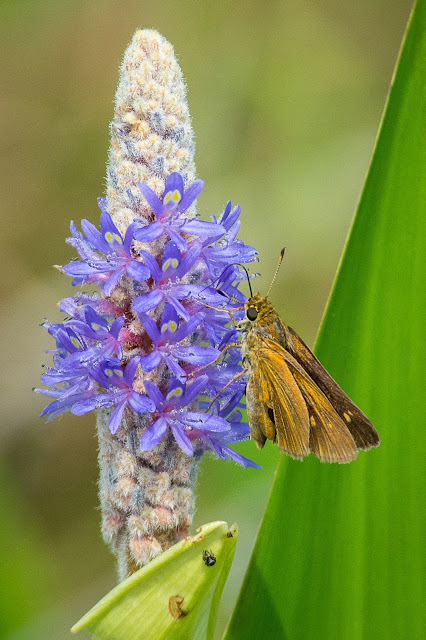 Fiery Skipper on Pickerelweed, John Bunker Sands Wetland Center