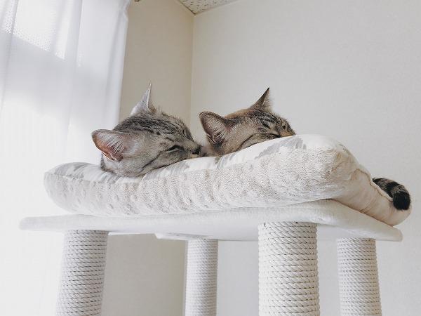 キャットタワーのてっぺんで仲良く並んで昼寝している2匹の猫