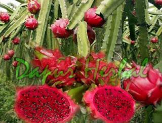 Buah Segar, Manfaat Buah Naga Bagi Keshetan, Baik untuk membersihkan usus, Buah untuk meningkatkan stamina, Baik untuk menjaga kelembaban kulit Baik untuk manula Baik untuk meningkatkan ASI Baik untuk mengobati panas dalam Baik untuk mengobati sariawan Baik untuk pencernaan bayi di atas 1 tahun Baik untuk menjaga usus dari perkembangan bakteri dapat digunakan untuk perwarna alami (buah naga merah) dapat digunakan untuk membasmi jerawat Dapat menjaga kulit wajah agar tetap kencang Memperkuat tulang dan gigi Mencegah peradangan Menjaga ion tubuh Agar tidak mudah kram Mencegah kelumpuhan otot Menjaga kesehatan syaraf Mencegah kerapuhan tulang Menjaga kelancaran sistem peradaran darah Mencegah kanker Meningkatkan imun tubuh/antibodi Mencegah Diabetes Melitus Meningkatkan nafsu makan Menunda penuaan dini Menurunkan berat badan Sumber antioksidan Obat batuk dan asma Obat Hipertensi dan jantung Untuk pertumbuhan tulang dan darah Sangat ampuh untuk mengatasi tengorokan kering