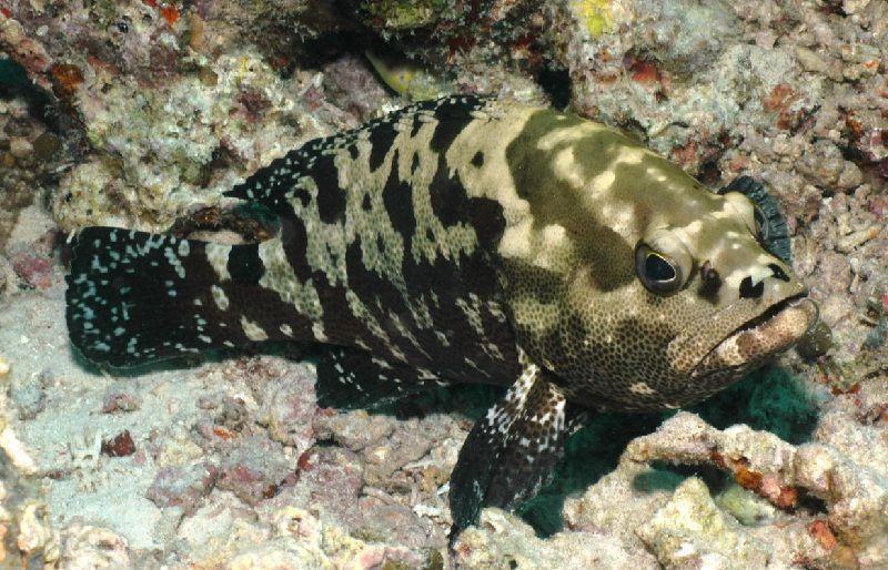 Gambar Ikan Laut Kerapu Kodok