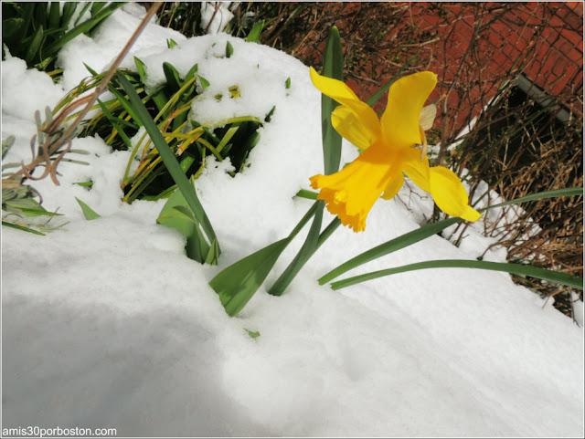 Primavera Nieve Flores 2016 Boston
