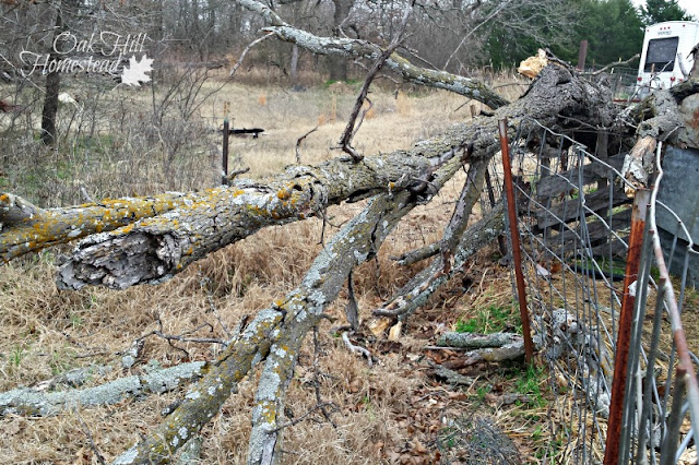An oak tree fell in the goat's fence.