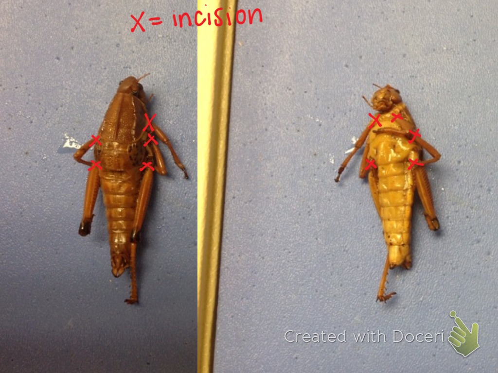 Bio Nerds How To Dissect A Grasshopper