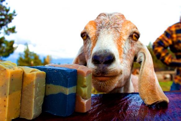khasiat sabun sabun susu kambing