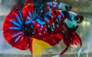 Cara Budidaya Ikan Cupang Koi Praktis Bagi Pemula  Kabar Terbaru- MENGENAL IKAN CUPANG KOI PEMBAWA HOKI