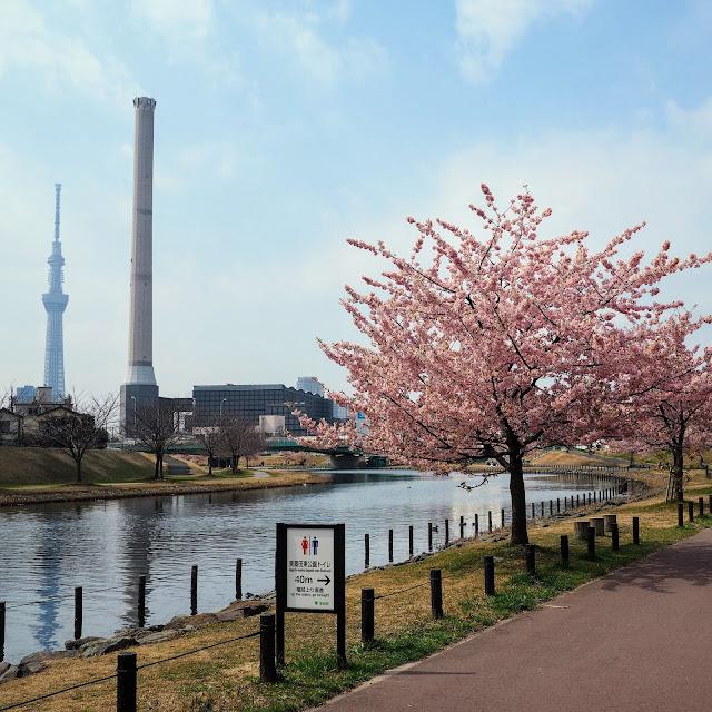 旧中川水辺公園 河津桜 スカイツリー