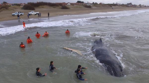Rescataron a la ballena encallada en Mar del Tuyú Descarga