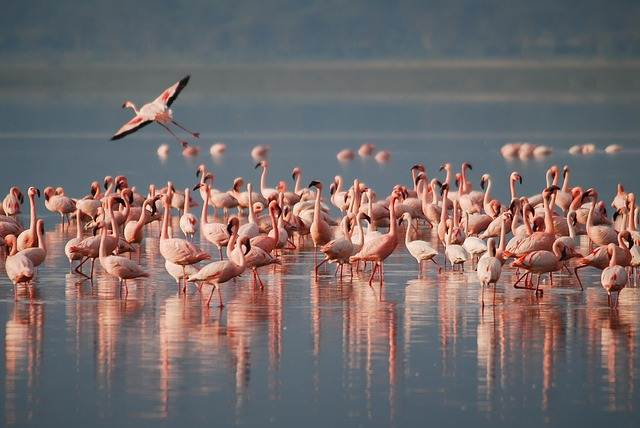 Apa Fungsi Warna Merah Bulu Flamingo ?