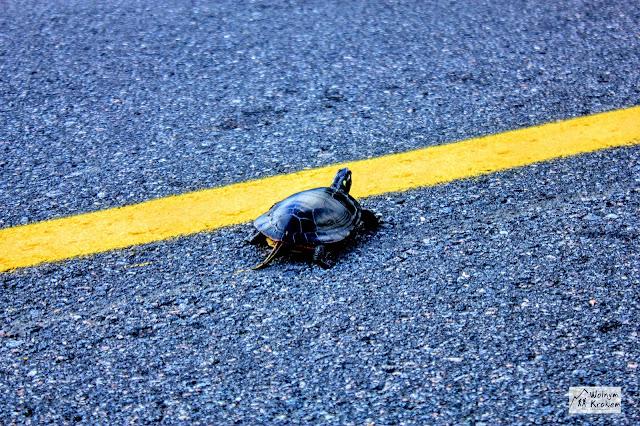 żółw bagienny