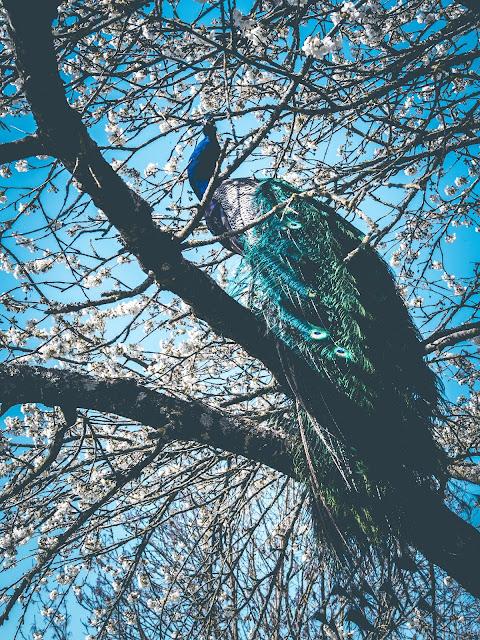 Blauwe Pauw in bloeiende Kersenboom