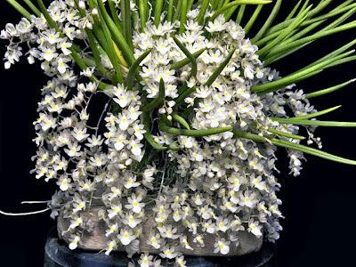 Micro-orquídea Capanemia superflua