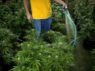 riego cannabis