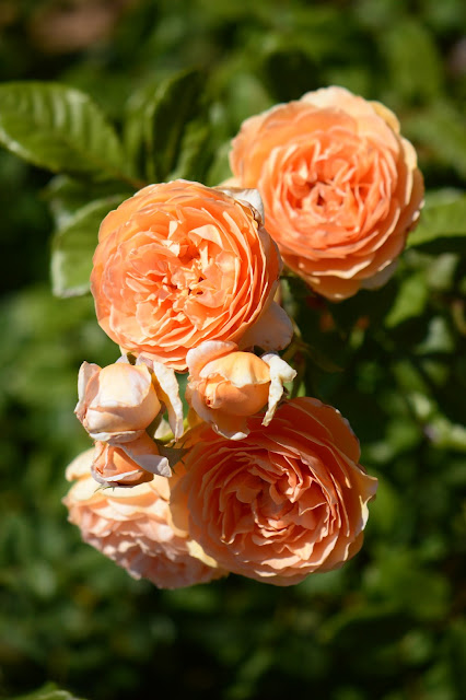 rose, crown princes margareta, amy myers, small sunny garden, desert garden,