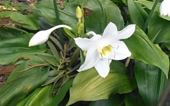 LIRIO DEL AMAZONAS Eucharis x grandiflora
