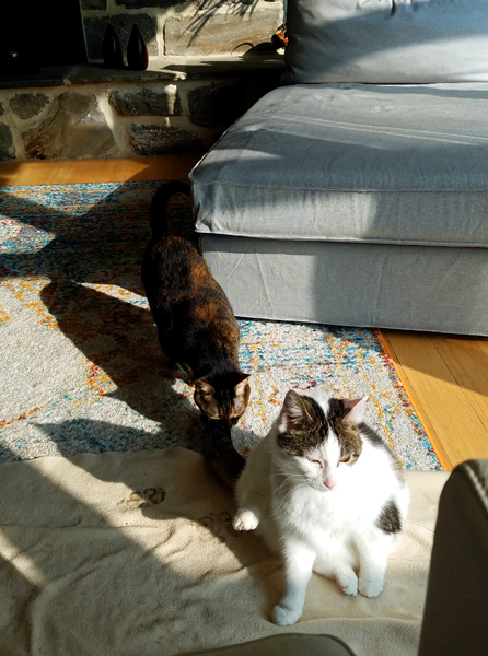 image of Olivia the White Farm Cat sitting in the sunshine, and Sophie the Torbie Cat walking up behind her to sniff her tail