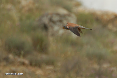 Xoriguer petit (Falco naumanni)