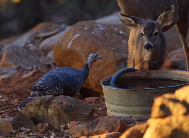 Fawn and turkey share a drink