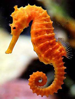 caballito de mar Hippocampus Reidi