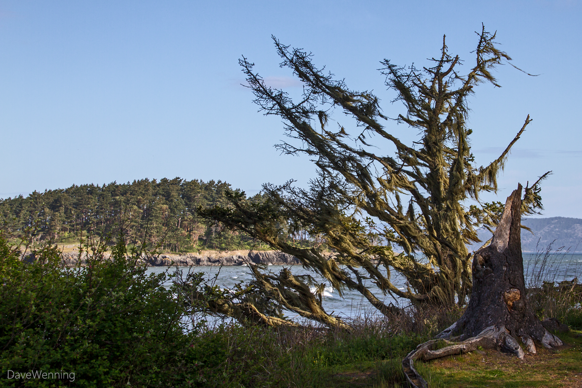 Windblown Tree, Deception Pass State Park
