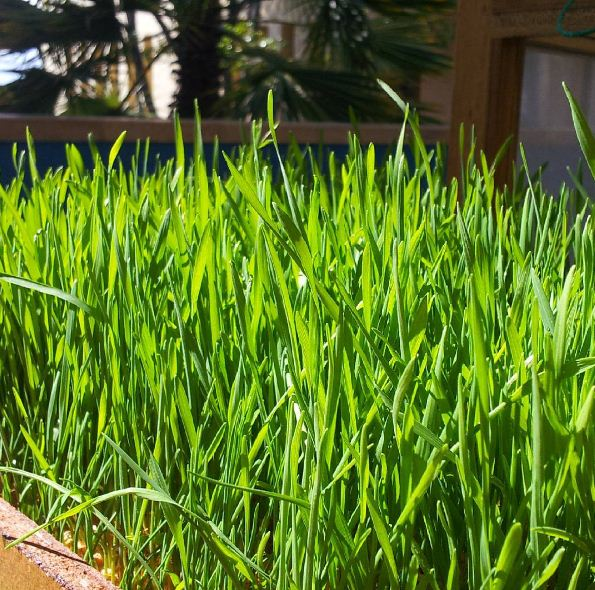 The Top Ways to Add Wheatgrass to Your Diet