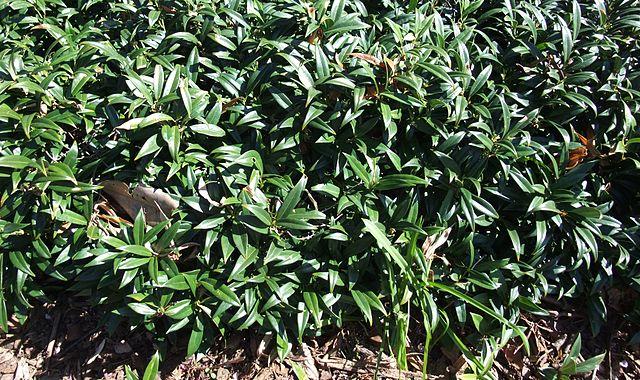 Sarcococca hookeriana var. humilis shrub