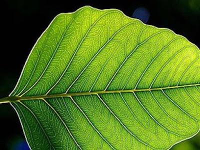 Chlorophyll là một loại sắc tố màu xanh lục gặp nhiều trong lá cây và có nhiều công dụng đối với sức khỏe