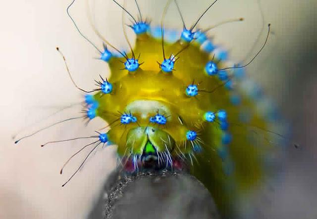 صور يرقات حشرات