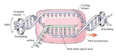 transkripsi, transkripsi DNA, gambar transkripsi DNA, inisiasi transkripsi, RNA polimerase I, RNA polimerase II, RNA polimerase III. RNA polimerase I