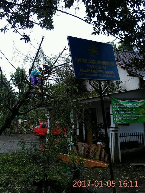 Salah Satu Pohon di Pondok Modern Muhamadiyah Pakusari yang Roboh Menimpa Rumah Pengasuh