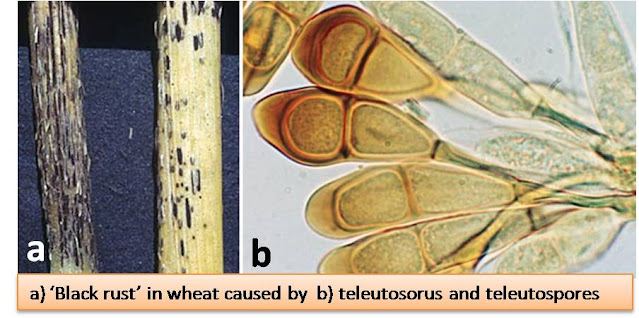5 Stages in Life cycle of Puccinia