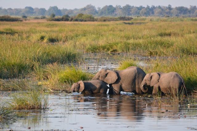 olifanten, olifant, elephants, elephant, Botswana, Linyanti rivier, olifanten in overvloed, wildlife, safari, de bush, Afrika, zuidelijk Afrika, wildpark