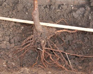 guerilla fruit tree planting: picture of the roots of a cheap tree