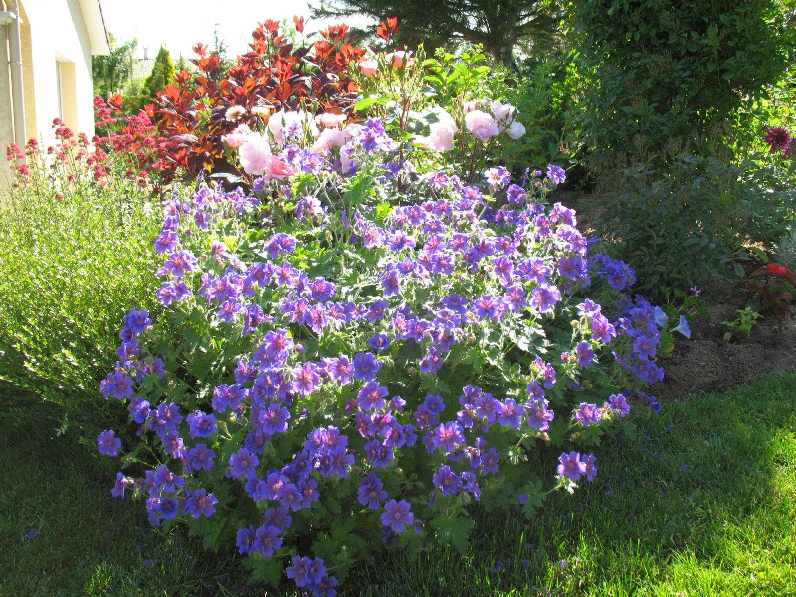 roses du jardin ch neland pour border un nouveau massif de rosiers. Black Bedroom Furniture Sets. Home Design Ideas