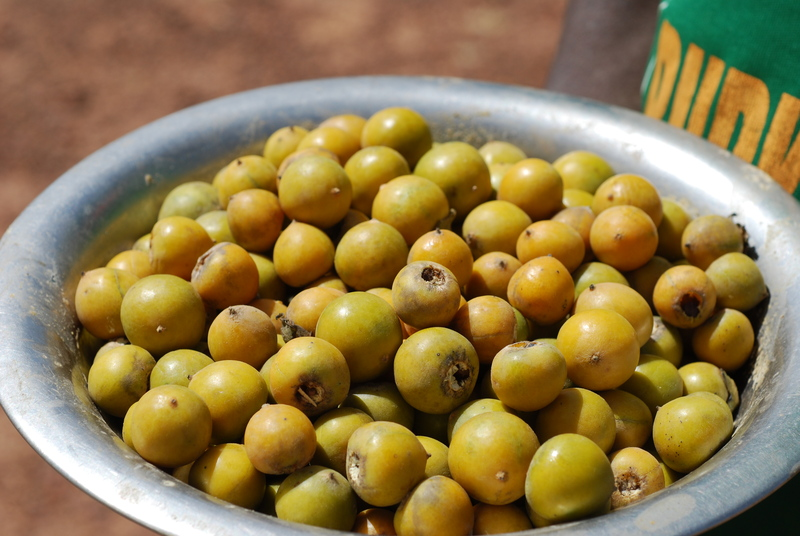 The Earth Of India All About Indian Plum