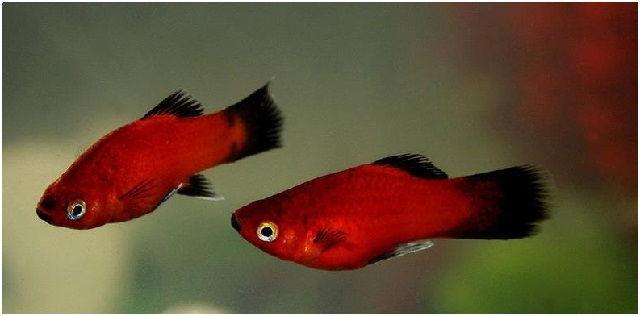 Gambar Ikan Hias Cantik – Ikan Platy
