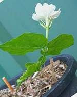 Cutting Propagated Jasmine Flowering