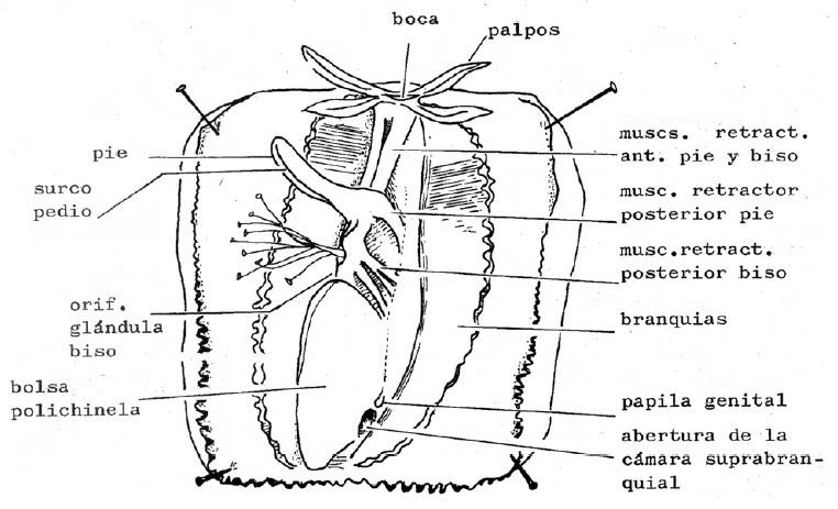 Asombroso Anatomía De Un Mejillón Inspiración - Anatomía de Las ...