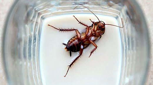 La leche de cucaracha podría ser el próximo súper alimento, piensan los científicos