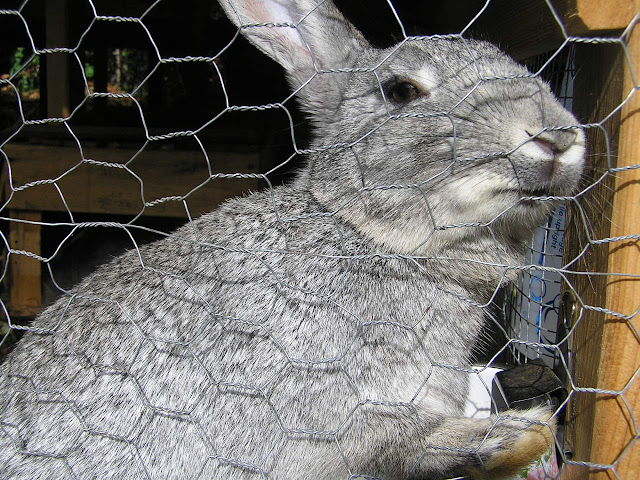 american chinchilla keeping rabits