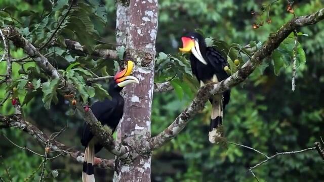 Burung Enggang Kalimantan