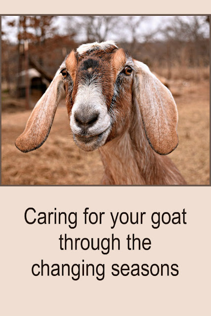 As the seasons change, it's time to reset your goat care routine too. Here's how to adjust your care as the weather changes.  #goats #homesteading
