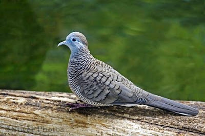 Panduan Budidaya Burung Perkutut di Sekolah Perkutut
